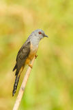Male Plaintive Cuckoo Royalty Free Stock Photo