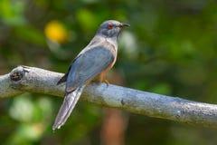 Male Plaintive Cuckoo(Cacomantis merulinus) Stock Photo