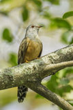 Male Plaintive Cuckoo Royalty Free Stock Images