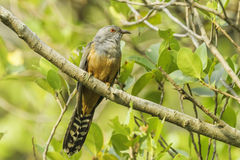 Male Plaintive Cuckoo Stock Photos