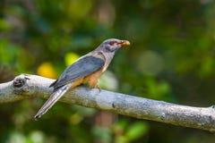 Male Plaintive Cuckoo(Cacomantis merulinus) Stock Photos