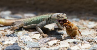 Male Platysaurus lizard eating a brown hairy insect. Male Platysaurus lizard eating a large brown hairy insect royalty free stock photography