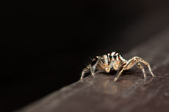 Male Plexippus paykulli jumping spider resting Royalty Free Stock Images