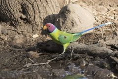 Male plum-headed parakeet who flew on a small water body on a wi Royalty Free Stock Images
