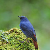 Male Plumbeous Redstart Stock Photos