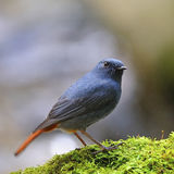 Male Plumbeous Redstart Stock Photo