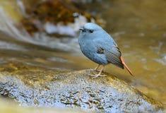 Male Plumbeous Redstart (Rhyacornis fuliginosa) Royalty Free Stock Photo