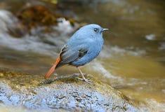Male Plumbeous Redstart (Rhyacornis fuliginosa) Royalty Free Stock Image