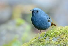 Male Plumbeous Redstart (Rhyacornis fuliginosa) Stock Photo