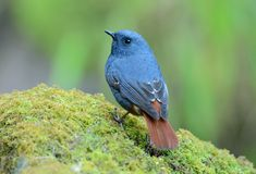Male Plumbeous Redstart (Rhyacornis fuliginosa) Royalty Free Stock Photo