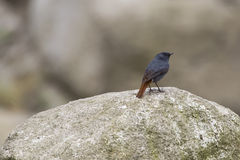 Male Plumbeous Water-Redstart on Rock Royalty Free Stock Image