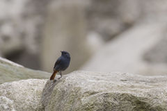 Male Plumbeous Water-Redstart Standing on Rocks Stock Photos