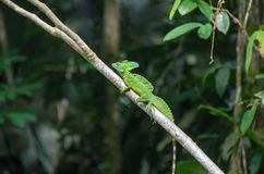 Plumed basilisk or Jesus Christ lizard in Tortuguero National Pa. Male Plumed basilisk Basiliscus plumifrons, also known as green basilisk, double crested royalty free stock photography