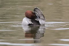 A male pochard duck on the Cemetery Lake Southampton Common stock photos