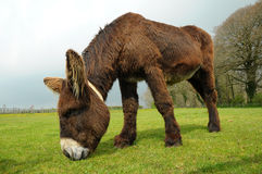 Male Poitou Donkey Royalty Free Stock Photography