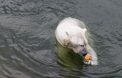 Male Polar bear eating melon Royalty Free Stock Image