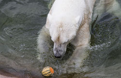 Male Polar bear eating melon Stock Photos