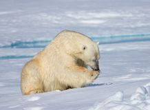 Male polar bear licking foot after eating Royalty Free Stock Image