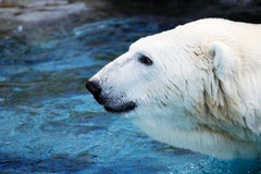 Male polar bear profile Royalty Free Stock Photos