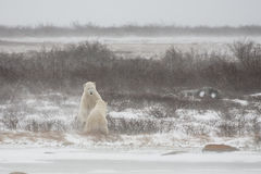 Male Polar Bear in Submission after a Mock Spar Stock Photography