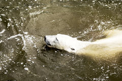 Male polar bear swimming in water. Ursus maritimus. Wild arctic animal stock photography