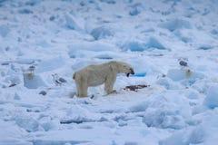 Polar Bear Ursus maritimus Spitsbergen North Ocean. Male polar bear Ursus maritimus in the snow stock photo
