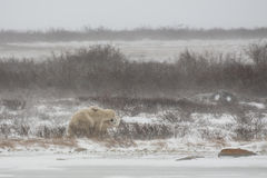 Male Polar Bears Jostle while Mock Sparring Royalty Free Stock Images