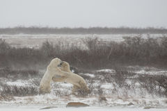 Polar Bears Standing/Shoving while Mock Sparing/fi Stock Images