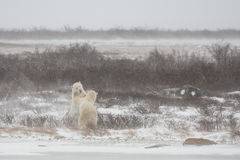 Male Polar Bears Standing While Mock Sparring Stock Photo
