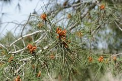 Male pollen cones on pine tree Stock Photos