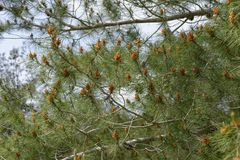 Male pollen cones (strobili) among needles on Mediterranean pine tree Royalty Free Stock Photos