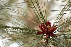 Male Pollen Pine Cones