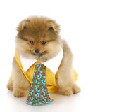 Male pomeranian puppy. Pomeranian puppy male wearing shirt and tie with reflection on white background Stock Image