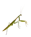Male Praying Mantis Royalty Free Stock Image