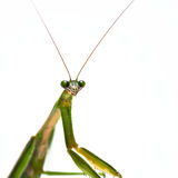 Male Praying Mantis Royalty Free Stock Images