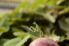 The male praying mantis on the apple. Mantis looking for prey. Mantis insect predator. Royalty Free Stock Photo