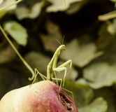 The male praying mantis on the apple. Mantis looking for prey. Mantis insect predator. Royalty Free Stock Photography
