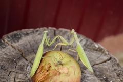 The male praying mantis on the apple. Mantis looking for prey. Mantis insect predator. Stock Images