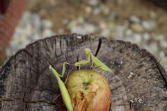 The male praying mantis on the apple. Mantis looking for prey. Mantis insect predator. Stock Photo