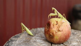 The male praying mantis on the apple. Mantis looking for prey. Mantis insect predator. stock video