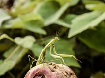 The male praying mantis on the apple. Mantis looking for prey. Mantis insect predator. The male praying mantis on the apple. Mantis looking for prey. Mantis Royalty Free Stock Photo