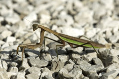 Male Praying Mantis on Stones Stock Photos
