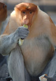 Male probiscis monkey,borneo, south east asia Royalty Free Stock Photos