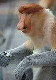 Male probiscis monkey, borneo, south east asia Royalty Free Stock Photo