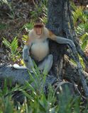 Male probiscis monkey, borneo, south east asia Royalty Free Stock Images