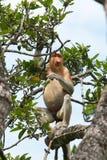 Male Proboscis. Royalty Free Stock Photos