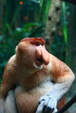 A Male Proboscis Monkey (Bekantan) Royalty Free Stock Photo