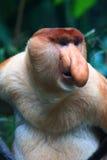 A Male Proboscis Monkey (Bekantan). The Proboscis Monkey (Nasalis larvatus) is also known as the Monyet Belanda in Malay, the Bekantan in Indonesian or simply Royalty Free Stock Photo