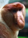 A Male Proboscis Monkey (Bekantan). The Proboscis Monkey (Nasalis larvatus) is also known as the Monyet Belanda in Malay, the Bekantan in Indonesian or simply Royalty Free Stock Photos