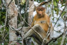Male proboscis monkey On Borneo, Indonesia. Stock Photos